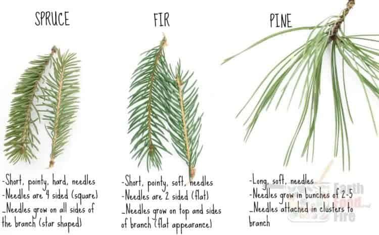 Examples of spruce, fir, and pine tree needles and tips how to identify them