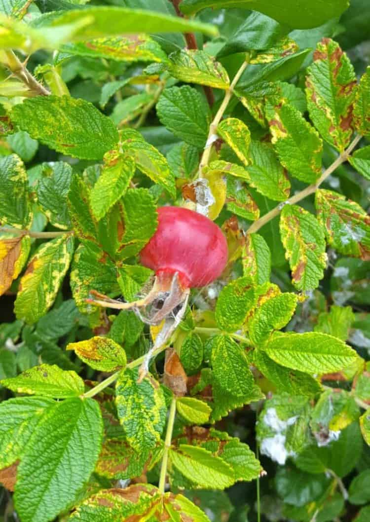 close up of a wild rose hip on a rose bush