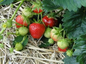 How to grow strawberries : A strawberry plant with ripe berries laying on straw mulch
