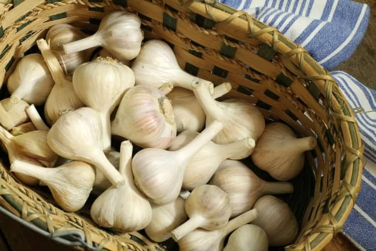 a basket filled with freshly cleaned and trimmed hardneck garlic ready for winter storage