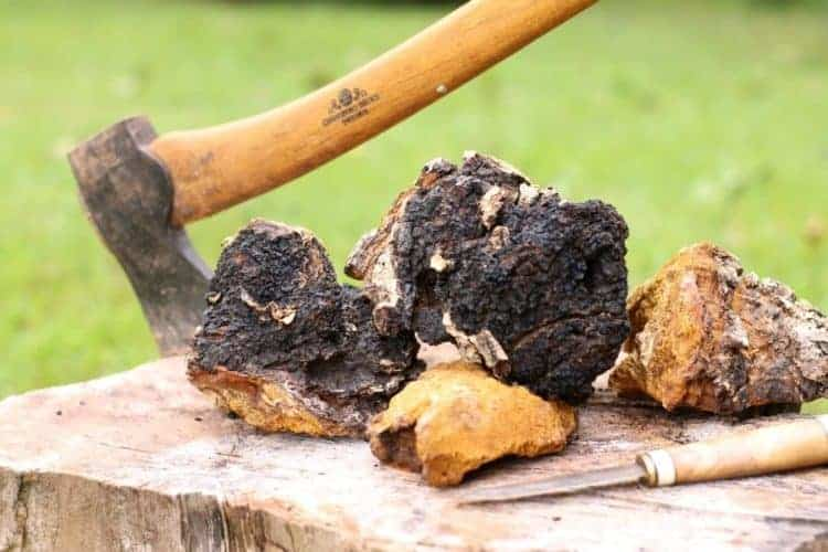 raw freshly foraged chaga pices on a wooden stump